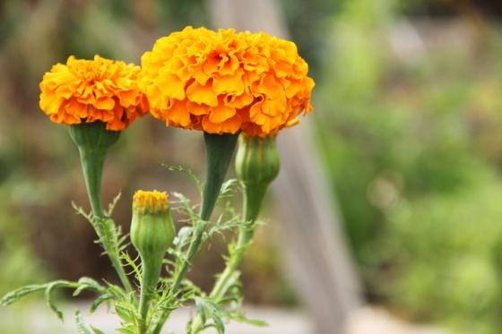 Marigold001