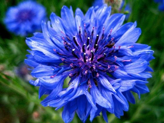 Bachelor's_button,_Basket_flower,_Boutonniere_flower,_Cornflower_-_3